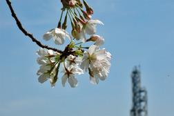 DSCN5631-桜.JPG