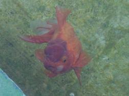 RIMG0042-金魚02.jpg